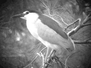 De Kwak, een vogel die op Mallorca vaak te zien is.